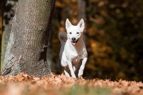 カナーンドッグ:野生生活を数世代送っていた犬種