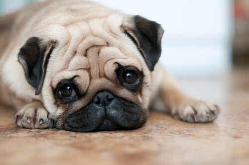 シワの多い犬をケアするときの4つのポイントとは?