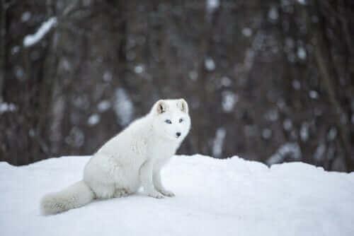 ホッキョクギツネ :社交的で縄張り意識の強い動物 雪の上のホッキョクギツネ