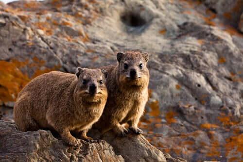 アクロバティックな動物: ロックハイラックス について 岩の上に立つ