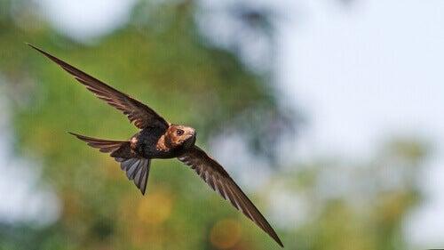 飛行中に眠る鳥: ヨーロッパアマツバメ 飛行中