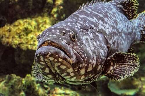大西洋ゴリアテハタってどんな魚?特徴と生息地について