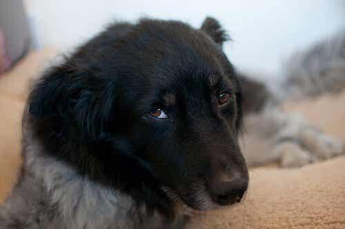 愛犬のために知っておきたい!エールリヒア症とは?