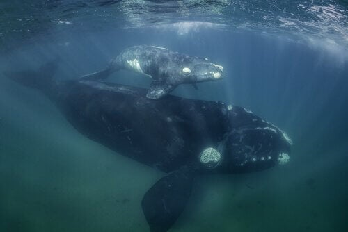 絶滅したクジラ2頭 絶滅 クジラ