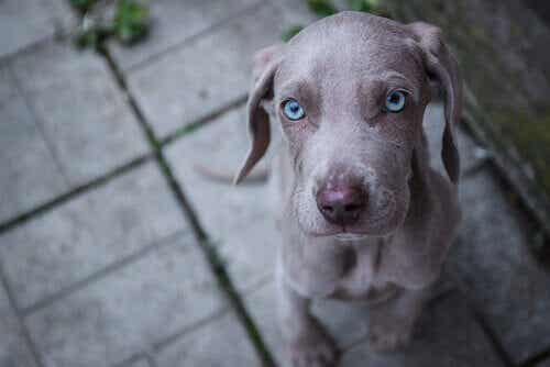 神秘的な瞳を持つワンちゃん!青い目の犬種をご紹介