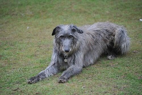 優しい大型犬スコティッシュディアハウンドの魅力!
