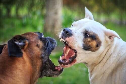 喧嘩する犬 攻撃的 犬 しつけ