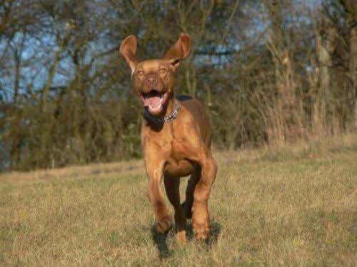 俊足を持つワンちゃんたち!世界で最も足の速い犬種