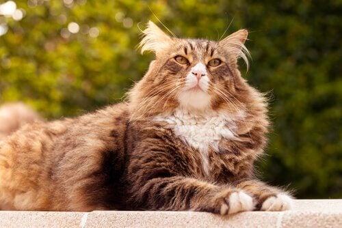 メイン・クーンだけじゃない!存在感のある大型の猫5種