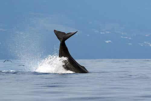 世界最大の捕食者とは?マッコウクジラの秘密に迫る