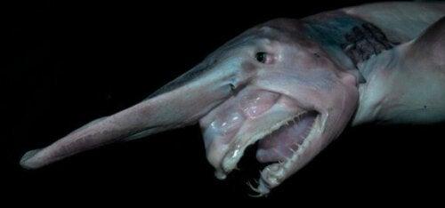 生きる化石「ミツクリザメ」の生態を見てみよう!