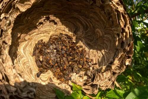 オオスズメバチの巣 殺人スズメバチ ツマアカスズメバチ