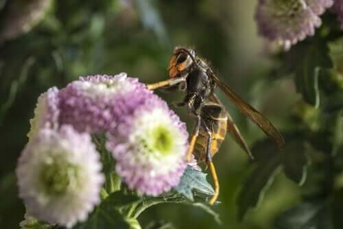 オオスズメバチ2 殺人スズメバチ ツマアカスズメバチ