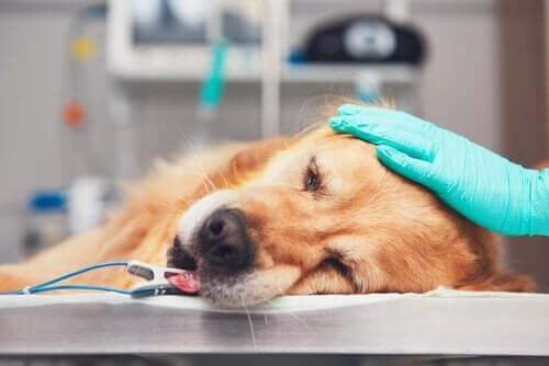 診察台に横たわる犬