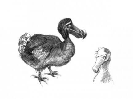 ドードー鳥のスケッチ