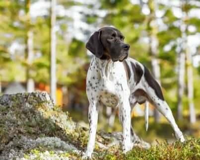 イングリッシュ・ポインター 犬種 狩猟犬 狩り