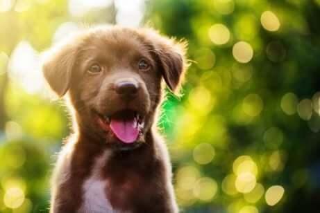 茶色の子犬