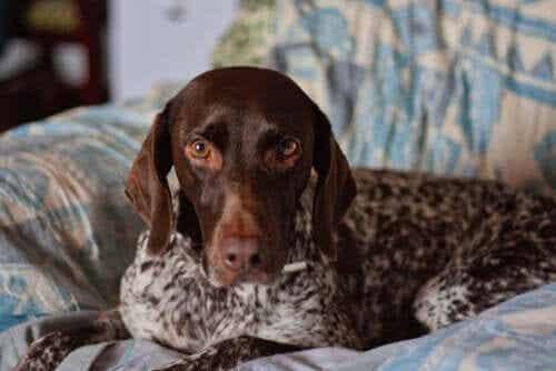 【優れた嗅覚を持つ】ポインター犬種についてよく知ろう!