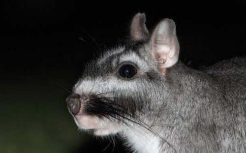 【南アメリカのげっ歯類】ビスカッチャってどんな動物?