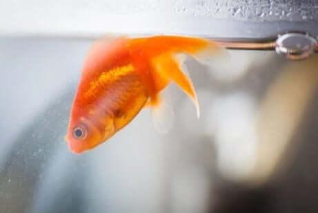 金魚 魚のヘキサミタ症:その原因と症状