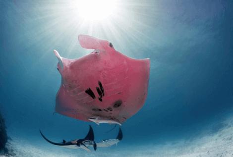 ピンク色のマンタ