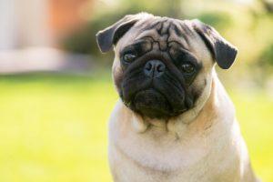 Hund med svulmende øyne
