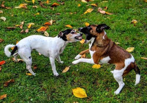 Hvordan kan du stoppe en hundeslåsskamp?