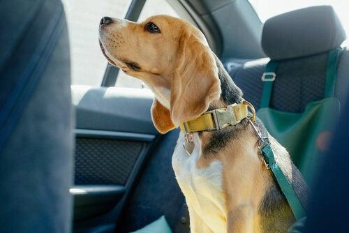 Hund med hundesele for bilreisen