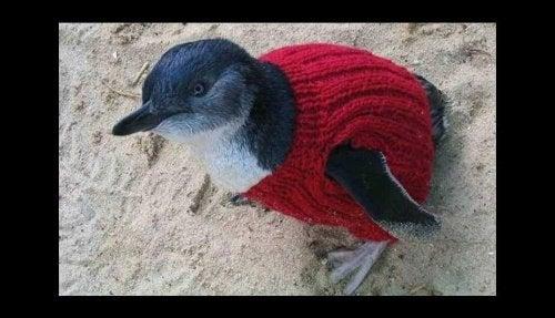 Pingvin i strikket genser