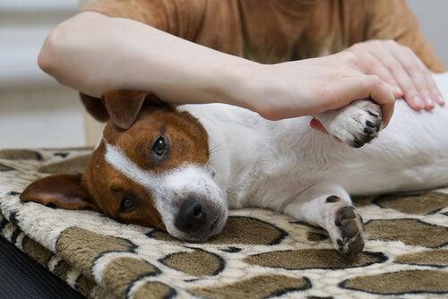 Vet du hvordan du kan gi en massasje til hunden din?