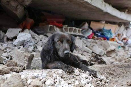 Jordskjelv i Ecuador: Hund nekter å forlate hjemmet sitt