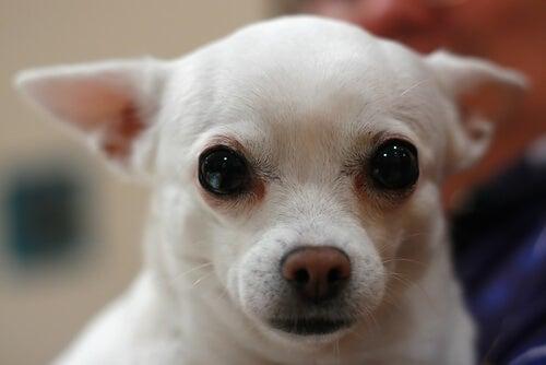 Slik renser du søvn fra hundens øyne