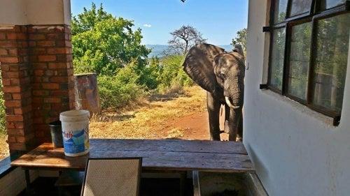 Elefant skutt av krypskyttere rømmer til mennesker for hjelp