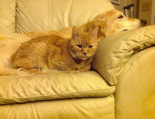 Katt og hund slapper av som venner