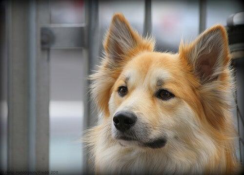 Lær hvordan du kan rense ørene til hunden din