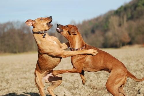 Kjennetegnet til alfahunder og andre dominante hunder