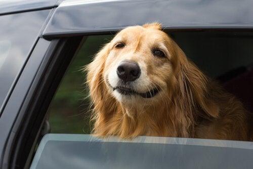 Unngå at hunden din blir bilsyk på bilferier