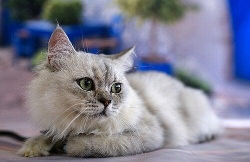 Kattespråk: katten din snakker