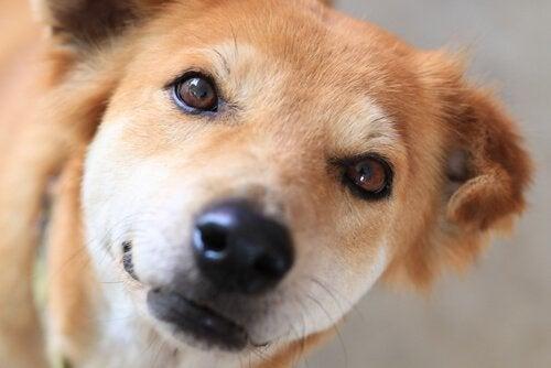 Lær hvordan du kan rengjøre tårekanalene til hunden din