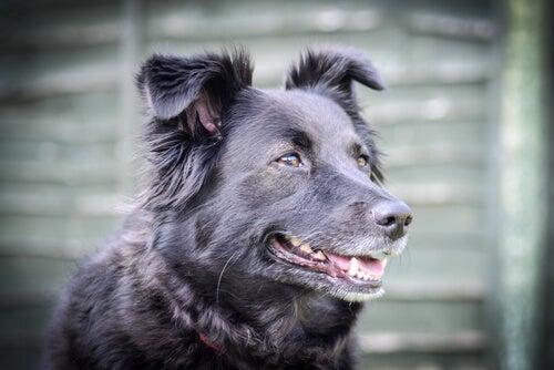 Hvordan kan du roe ned en hund med raserianfall?