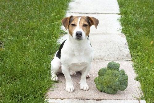 Brokkoli i hundens kosthold