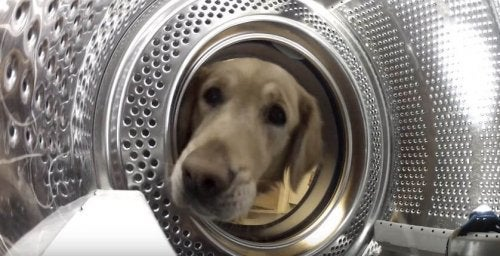 Hund redder bamsen Teddy fra vaskemaskinen