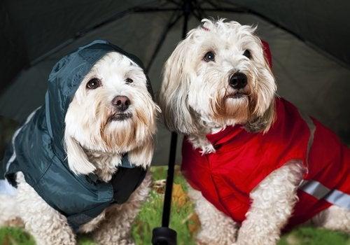 Hunder med regnjakker under paraply