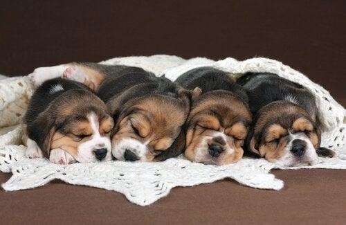 Beagle valper født gjennom in vitro befruktning