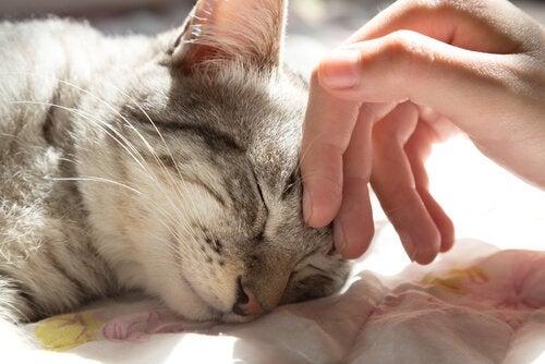 5 fordeler ved å dele sengeplass med en kosete katt