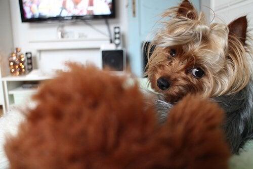 Hund ser på TV-programmer