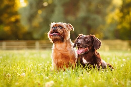 Hunder i gresset