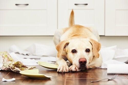 Hund på gulvet med knuste fat