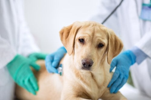 Sterilisering av din hund