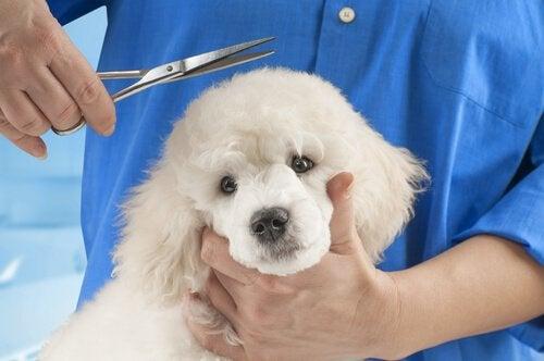 Hunderaser som ikke bør få sin pels klippet